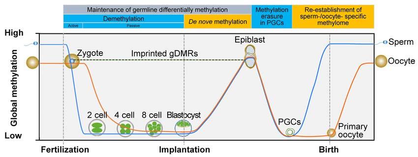 Procesul de ștergere-resetare a informației epigenetice (dinamica metilării)